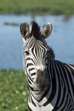South Africa  Durban Tala Game Reserve Plains Zebra