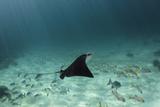 Spotted Eagle Ray, Hol Chan Marine Reserve, Belize Tableau sur toile par Pete Oxford