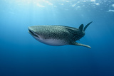 Whale Shark  Cenderawasih Bay  West Papua  Indonesia