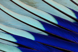 Wing Feathers of Blue-Bellied Roller