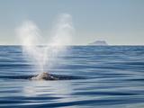 USA  California  San Diego California Gray Whale Migrating South Toward Mexico