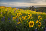 Washington  Field of Arrowleaf Balsamroot and Lupine Wildflowers at Columbia Hills State Park