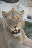 South Africa  Eastern Cape  East London Inkwenkwezi Game Reserve Young Male Lion