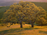 USA  California  South Coast Range  Valley Oaks and Grasses Glow in Sunset Light