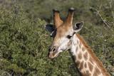 South Africa  Durban  Tala Game Reserve Giraffe  Head Detail  Male
