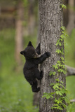 USA  Tennessee Black Bear Cub Climbing Tree