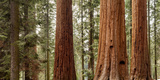 USA  California  Sequoia National Park  Panoramic View of Giant Sequoia Tree