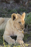 South Africa  Eastern Cape  East London Inkwenkwezi Game Reserve Lion Cub