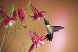 Ruby-Throated Hummingbird Male on Crimson Star Columbine  Illinois