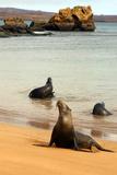 Three Galapagos Sea Lions Play on the Shore of Bartholomew Island Ecuador  South America