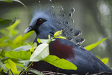 Victoria Crowed-Pigeon Native to New Guinea