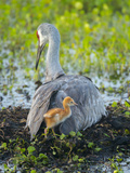 Sandhill Crane on Nest with Colt under Wing  Florida