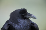 Common Raven (Corvus Corax)  Yellowstone National Park  Wyoming  United States of America