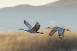 Sandhill Cranes Flying  Bosque Del Apache National Wildlife Refuge  New Mexico