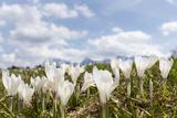 White Spring Crocus in Full Bloom in the Eastern Alps Germany  Bavaria