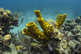 Yellow Tube Sponge  Lighthouse Reef  Atoll  Belize Barrier Reef  Belize