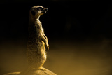 Meerkat (Suricata Suricatta)  in Captivity  United Kingdom  Europe