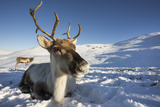 Reindeer (Rangifer Tarandus) Female  Cairngorms National Park  Scotland  United Kingdom  Europe