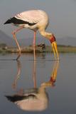 Yellowbilled Stork (Mycteria Ibis)  Zimanga Private Game Reserve  Kwazulu-Natal  South Africa