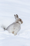 Mountain Hare (Lepus Timidus) in Winter Snow  Scottish Highlands  Scotland  United Kingdom  Europe
