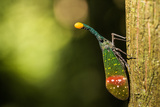 Orange-Tip Lantern Fly (Pyrops Intricata)  Indonesia  Southeast Asia