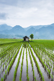 Small Hut in the Middle of Padi Field in Sumatra  Indonesia  Southeast Asia