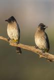 Dark-Capped (Black-Eyed) Bulbuls (Pycnonotus Tricolor)  Kwazulu-Natal  Africa