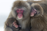 Snow Monkey (Macaca Fuscata) Group with Baby Cuddling Together in the Cold  Kingussie
