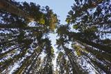 Conifer Plantation in Plymbridge Woods  Plymouth  Devon  England  United Kingdom  Europe