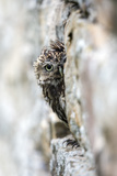 Little Owl (Athene Noctua) Perched in Stone Barn  Captive  United Kingdom  Europe