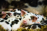 Piglets in Gloucestershire  England  United Kingdom  Europe
