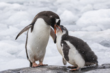 Adult Gentoo Penguin (Pygoscelis Papua) Feeding Chick at Jougla Point  Antarctica  Polar Regions