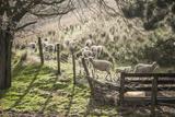 Washington  Whitman County  the Palouse  Lacrosse  Pioneer Stock Farm  Sheep and Spring Lambs