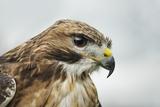 Red Tailed Hawk  an American Raptor  Bird of Prey  United Kingdom  Europe