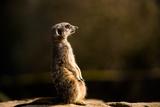 Meerkat (Suricate) (Suricata Suricatta)  United Kingdom  Europe