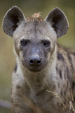 Spotted Hyena (Spotted Hyaena) (Crocuta Crocuta)  Kruger National Park  South Africa  Africa