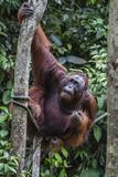 Young Male Bornean Orangutan (Pongo Pygmaeus)  Malaysia