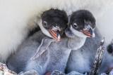 Gentoo Penguin (Pygoscelis Papua) Adult on Nest