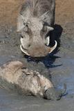 Warthog (Phacochoerus Aethiopicus) Mudbathing  Mkhuze Game Reserve  Kwazulu-Natal  South Africa