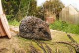 Hedgehog (Erinaceinae)  Durham  England  United Kingom  Europe