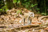 Long Tailed Macaque (Macaca Fascicularis)  Indonesia  Southeast Asia