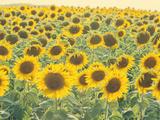 Sunflowers in Full Bloom  France  Europe
