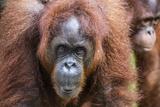 Mother and Infant Bornean Orangutan (Pongo Pygmaeus)  Malaysia