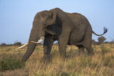 African Elephant Bull (Loxodonta Africana)  Kruger National Park  South Africa  Africa