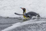 Adult King Penguin (Aptenodytes Patagonicus) Returning from Sea at St Andrews Bay  Polar Regions
