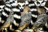 Lemurs (Lemuroidea)  Cotswold Safari Park  Oxfordshire  England  United Kingdom  Europe