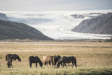 Icelandic Horses with a Glacier Running Down from the Vatnajokull Ice Cap Behind  Polar Regions