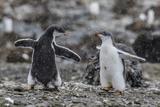 Gentoo Penguin Chicks (Pygoscelis Papua) in Ecstatic Display at Brown Bluff  Polar Regions