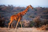 Giraffe  Kenya  East Africa  Africa