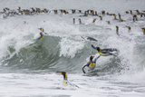 Adult King Penguins (Aptenodytes Patagonicus) Returning from Sea at St Andrews Bay  Polar Regions